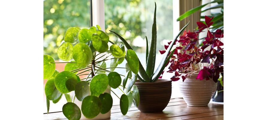 10 рослин, які корисно мати у себе вдома