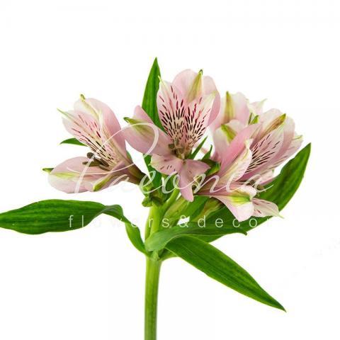 Альстромерія Elegance ніжно-рожева, 5 75см