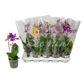Фаленопсис (орхідея) мультифлора 12*40 1 стовбур мікс (Hoorn)