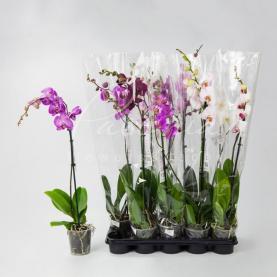 Фаленопсис (орхидея) 12*75 1 стовбур мікс (VG Orchids)