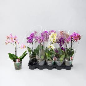 Фаленопсис (орхідея) мультифлора 9*35 1 стовбур мікс (Ter Laak Orchids)