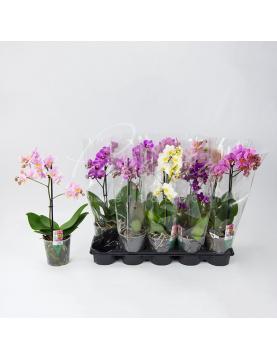 Фаленопсис (орхидея) мультифлора 9*35 1 ствол микс (Ter Laak Orchids)