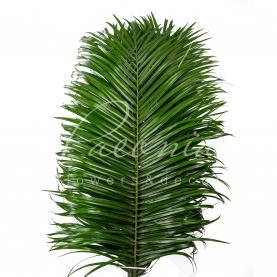Фенікз (фінікова пальма) 60см (ціна за 1 пучок)