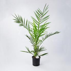 Фінікова пальма 14*65