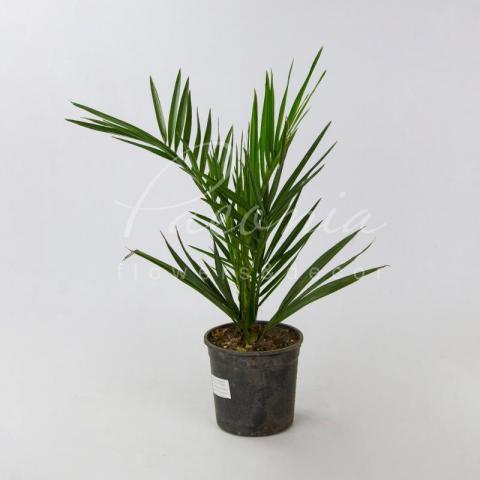 Финиковая пальма 14*70 Сanariensis