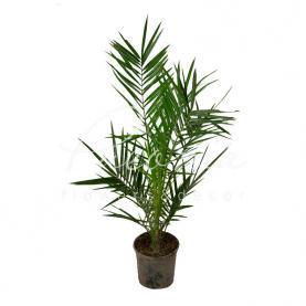 Фінікова пальма 15*90 Сanariensis
