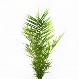 Фінікова пальма 19*90 Сanariensis