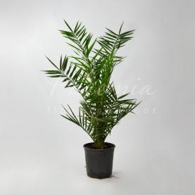 Фінікова пальма 22*100 Сanariensis
