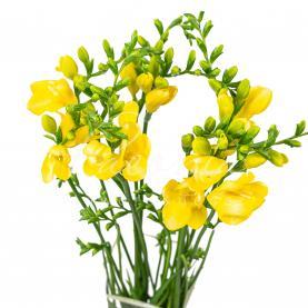 Фрезія Maya жовта 50см