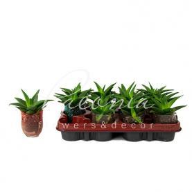 Хавортія 8*15 limifolia