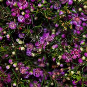 Хамелациум фиолетовый 55см