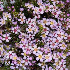 Хамелациум нежно-розовый 55см