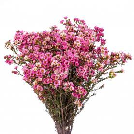 Хамелациум розовый 60см