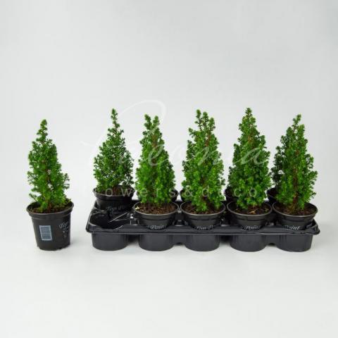 Хвойные растения 11*15 микс