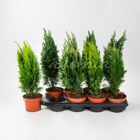 Хвойні рослини 13*20 мікс