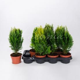 Хвойні рослини 13*35 мікс