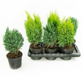 Хвойні рослини 15*50 мікс