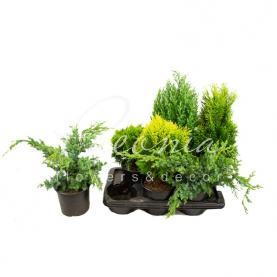 Хвойні рослини 17 * 45 мікс