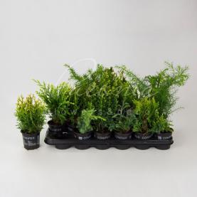 Хвойні рослини 9*15 микс