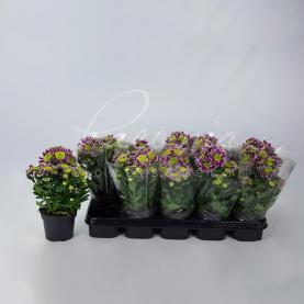 Хризантема 12*25 ромашка Saba