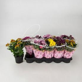 Хризантема 13*25 ромашка Bicolor мікс (Decorum)