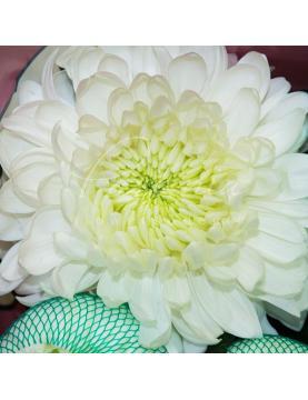 Хризантема одноголова Magnum біла 70см