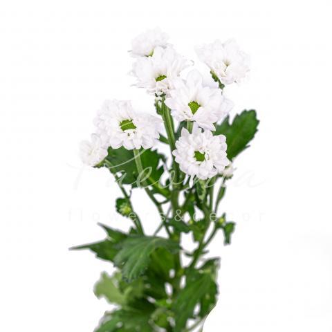 Хризантема сантіні Bouncer 55см