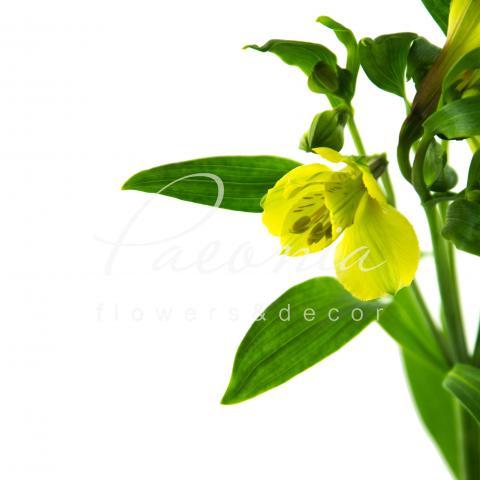 Альстромерія Gold жовта 75см