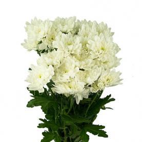 Хризантема спрей Pina Colada біла 70см