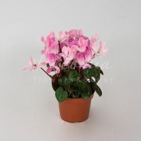 Цикламен 10*23 рожевий Silveradо