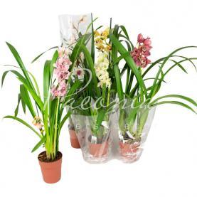 Цимбидиум (орхидея) 14*80 микс