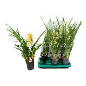 Цимбидиум (орхидея) 15*60 микс