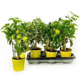 Цитрус лимон 15*50 Meyeri Meyer на стовбурі з плодами