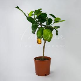 Цитрус лимон 21*80 на стовбурі з великими плодами