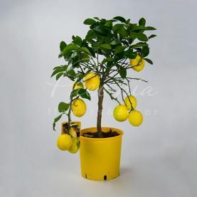 Цитрус лимон 26*120 на стовбурі з плодами