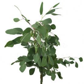 Евкаліпт Populus 70см (ціна за 1 пучок)