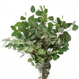 Евкаліпт Populus 60см (ціна за 1 пучок)