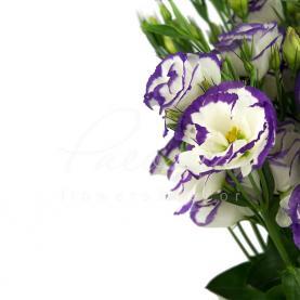 Еустома біло-фіолетова (Україна) 70см