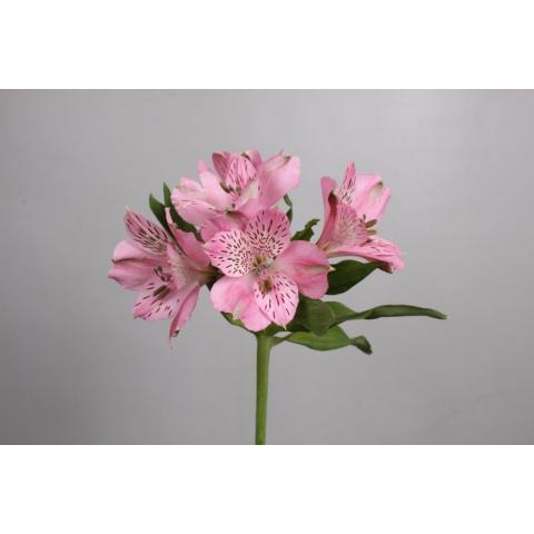 Альстромерія Ishii рожева 75см