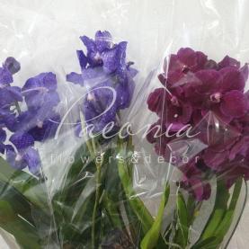 Ванда (орхідея) 0*80 (фіолетова +рожева) у підвісі