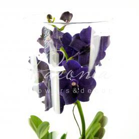 Ванда (орхідея) 17*70 мікс у склі