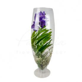 Ванда (орхідея) 24*70 мікс у склі Champagne (фіолетова + рожева)