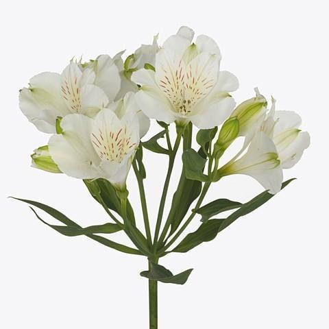 Альстромерія Mistral біла 75см