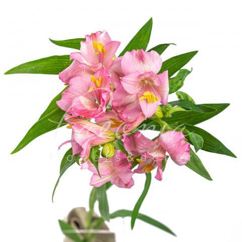 Альстромерія Primadonna ніжно-рожева 70см