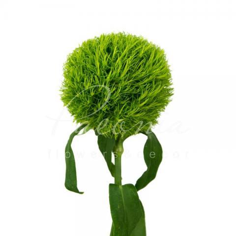 Гвоздика Barbatus Green Trick 50см