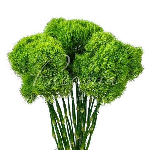Гвоздика Barbatus Green Trick 70см