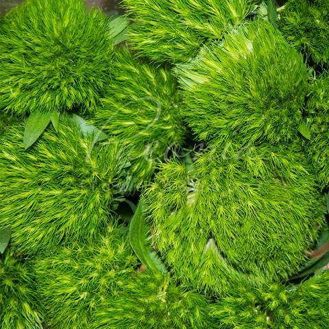 Гвоздика Barbatus Green Wicky 55см
