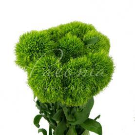 Гвоздика Barbatus Green Ball 40см