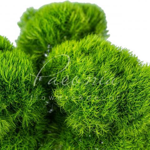Гвоздика Barbatus Green Trick 55см