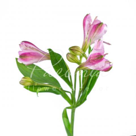 Альстромерія Renate рожева 70см